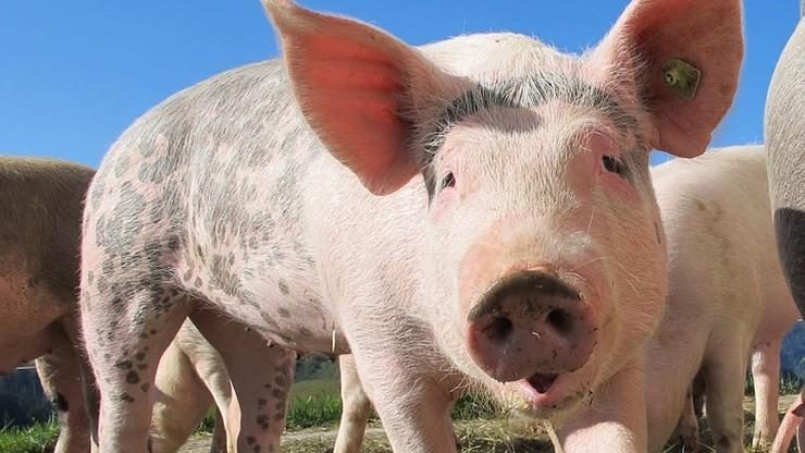 """Naukowcy """"ożywili"""" mózg martwej świni. """"Metoda może pomóc w leczeniu udarów"""""""