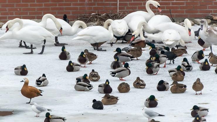 W Lubuskiem ubito ponad milion sztuk drobiu z powodu ptasiej grypy