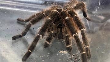 Jadowity pająk w łazience warszawiaka. Siedział pod wanną