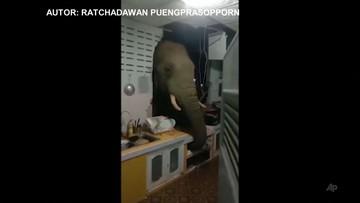 Słoń przebił ścianę i wszedł do kuchni. Był głodny