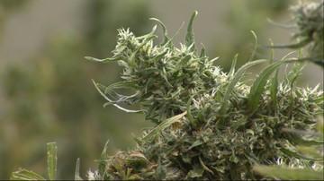 Policjant z Jastrzębia-Zdroju prowadził plantację marihuany. Został aresztowany
