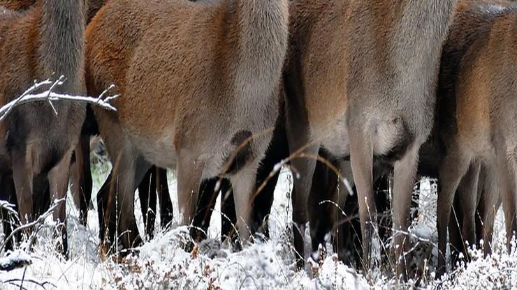 To jednak nie wilki, a jeden pies zagryzł kilkanaście danieli w Zbychowie na Pomorzu