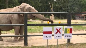 Słonica Citta już wie. Ulubienica krakowskiego zoo wytypowała zwycięzcę meczu Polska-Senegal