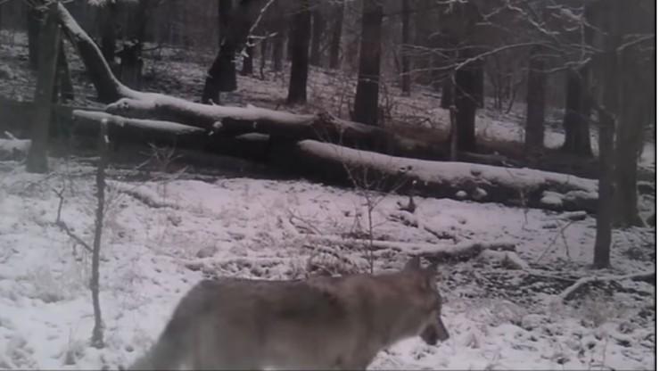 Wielkopolska: wilki w puszczy pod Poznaniem. Leśnicy przestrzegają mieszkańców