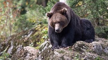 Niedźwiedzie coraz bliżej osiedli. Były widywane m.in. na Gubałówce