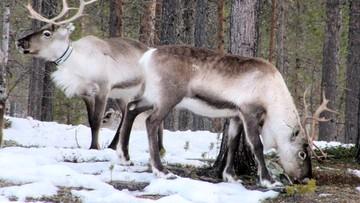 Arktyka straciła prawie 3 mln reniferów. To wina ocieplenia klimatu
