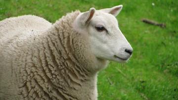"""Główne lotnisko Belgii """"zatrudniło"""" owce do koszenia trawy"""