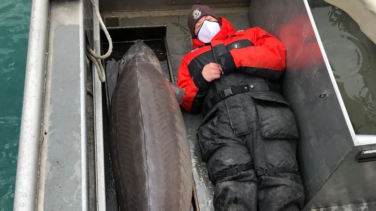 Złowiono 108-kilogramowego jesiotra. Ma ponad sto lat
