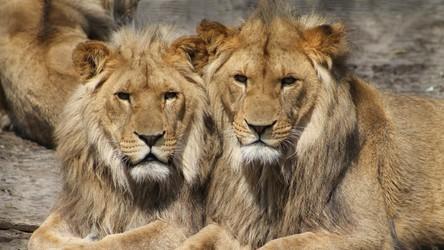 Lwy i tygrysy w hiszpańskim zoo zachorowały na CoVID-19. Wirus mutuje?