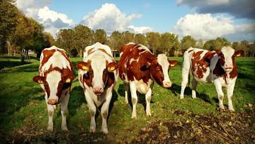 Francja: zlokalizowano już całe mięso z polskich chorych krów