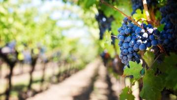 """Muzyka Mozarta w winnicy w Toskanii. """"Poprawia jakość winogron, a zatem i wina"""""""