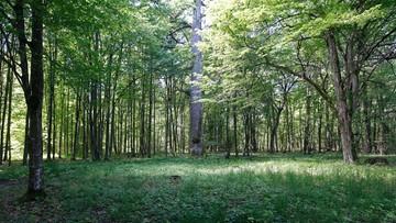 Opozycja: nie pozwolimy na pielęgnację Puszczy Białowieskiej siekierą