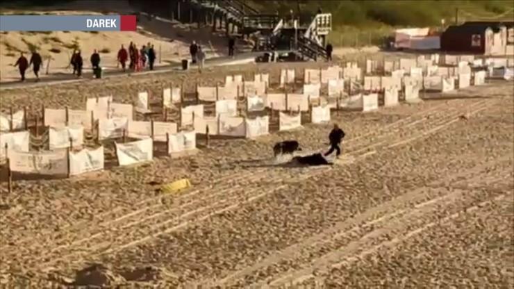 Atak dzika na plaży w Międzyzdrojach