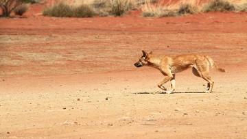 Psy dingo porwały dziecko śpiące w przyczepie. Chłopca uratował ojciec