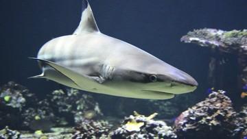 Może zginąć nawet pół miliona rekinów. Powodem szczepionka na Covid-19