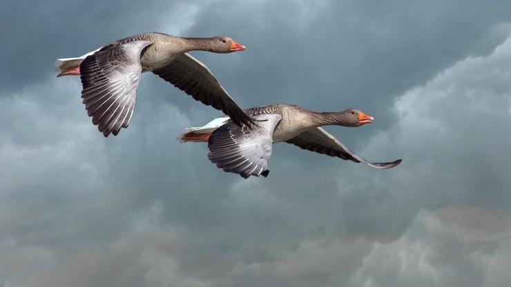 Zawód stracha na gęsi. Ptaki niemile widziane w kanadyjskich miastach
