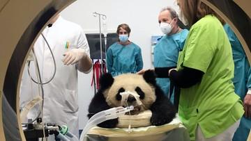 Tajemnicza choroba pandy? Eksperci nie mogą postawić diagnozy