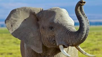 Po fali krytyki Trump zawiesza decyzję o zniesieniu zakazu importu trofeów ze słoni