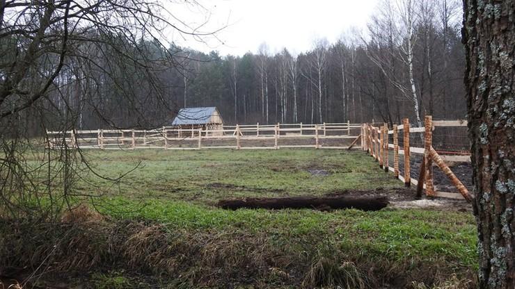 Na zdjęciu: tymczasowa zagroda adaptacyjna dla żubrów.