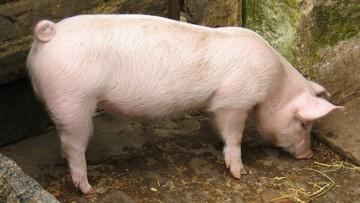 Wykryto 12. w kraju ognisko ASF u świń