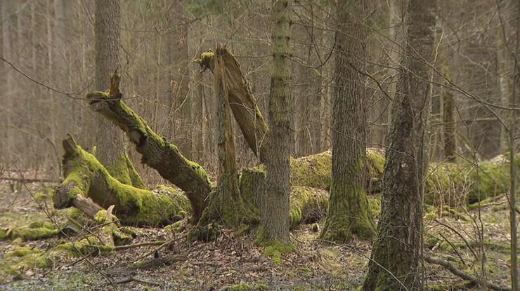 Kowalczyk chce uchylenia decyzji o wycince drzew w Puszczy Białowieskiej