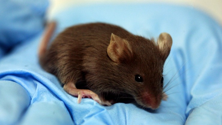 """Przedłużyli życie myszy. """"Osoba 90-letnia mogłaby dożyć 120 lat"""""""