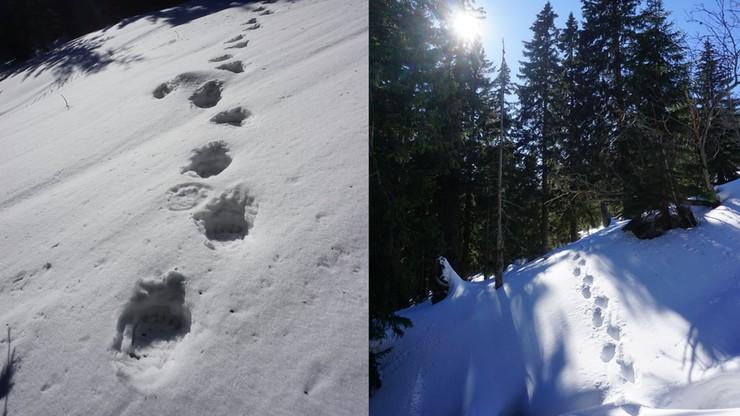 Świeże ślady niedźwiedzia na Babiej Górze. Wybudzone drapieżniki w Bieszczadach