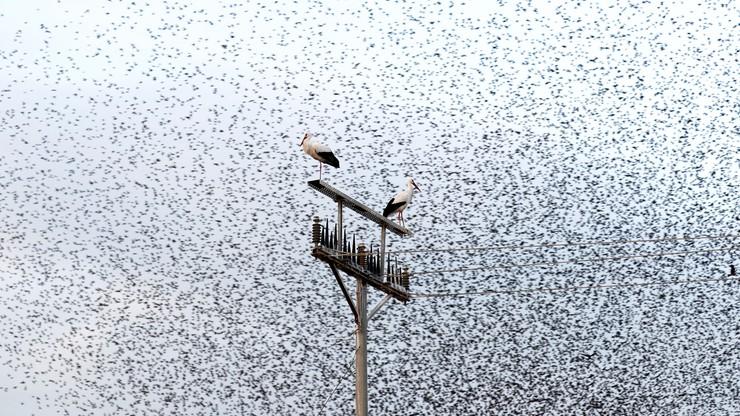 Bociany białe - zwiastuny wiosny - już wracają do Polski. Razem z nimi lecą szpaki