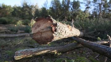 Prokuratura wszczęła śledztwo ws. wycinki drzew w Łebie