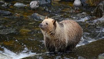 Kozica kontra grizzly. Potencjalna ofiara wygrała