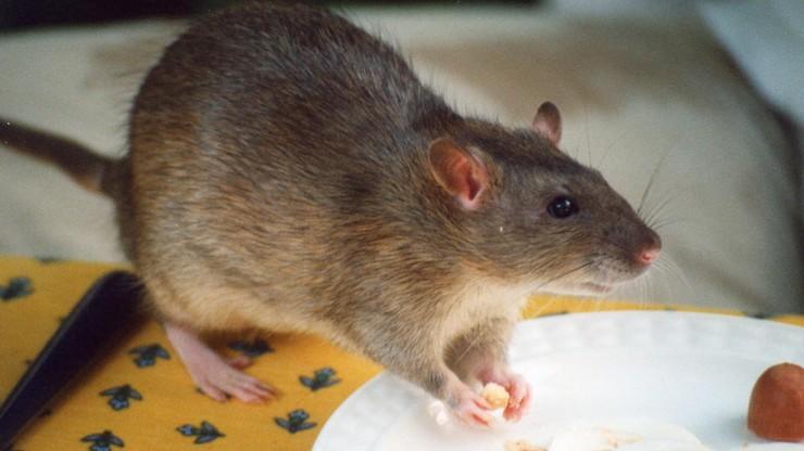Plaga szczurów. Mieszkańcy miast narzekają na gryzonie