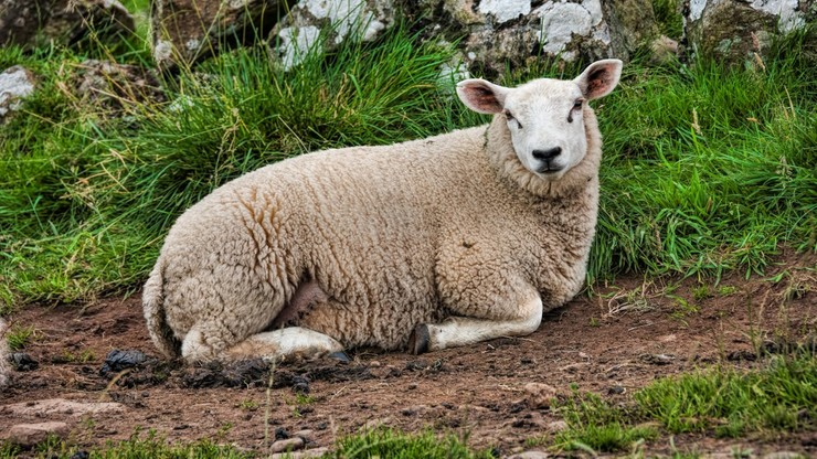 Owce i kozy zastąpią kosiarki w parkach w Rzymie. Brakuje pracowników