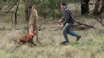 Mężczyzna zaatakował kangura. Chciał obronić swojego psa