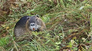 Ponad 3 mln zł strat spowodowanych przez bobry na Warmii i Mazurach