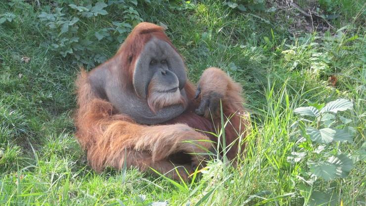 """USA: orangutan został """"panem mamą"""". Niezwykła historia z zoo"""