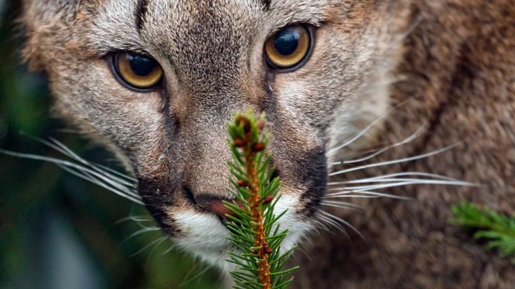Puma w okolicach Kobióra. Leśnicy objęli teren stałą obserwacją