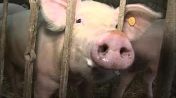 Lubelskie: wykryto kolejne ogniska pomoru u świń