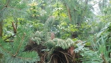 Hodował marihuanę w ukryciu. Dokładnie... na szczycie drzewa