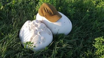Gigantyczne grzyby na łące w okolicach Augustowa