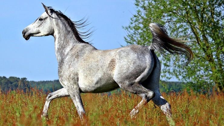 Zwolnieni za rządów PiS szefowie stadnin organizują własną aukcję koni arabskich