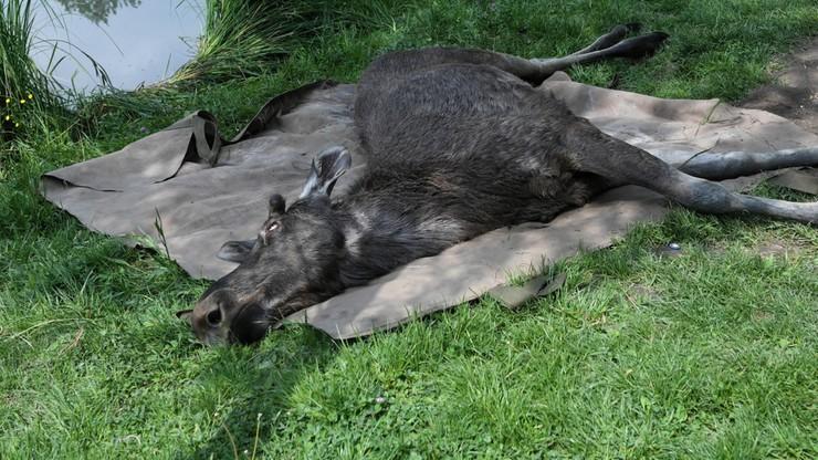 Łoś w warszawskim parku Skaryszewskim. Zjadł prawie wszystkie róże