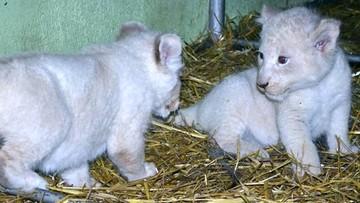 Białe lwy ze Świerkocina mają imiona. Konkurs rozstrzygnięty