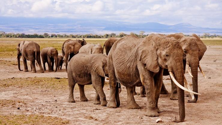 Nowatorskie rozwiązanie. Naukowcy liczą słonie... z kosmosu