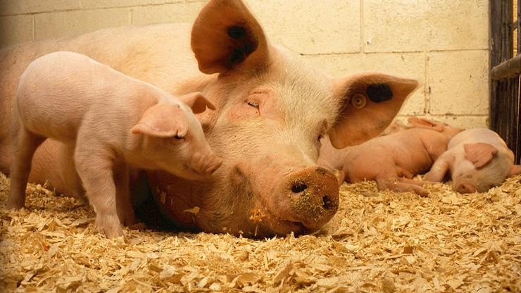 Świnie w zamkniętych pomieszczeniach. Zaostrzone przepisy w związku z afrykańskim pomorem świń