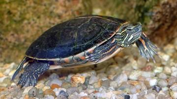 Zmiany klimatu mogą przyczynić się do wymarcia żółwi malowanych