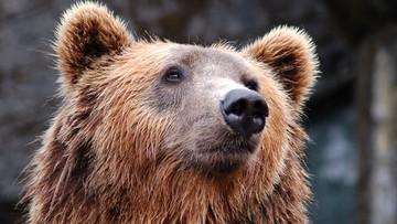 Finlandia: niedźwiedź uszkodził wynajęte przez turystów auto