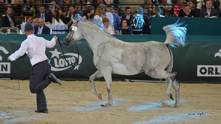 """Słabe wyniki aukcji """"Pride of Poland"""". Nie zlicytowano niemal połowy koni"""