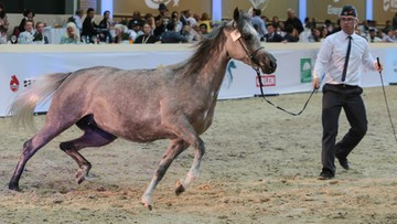 Prunella najdroższą klaczą Pride of Poland. Sprzedano tylko sześć koni