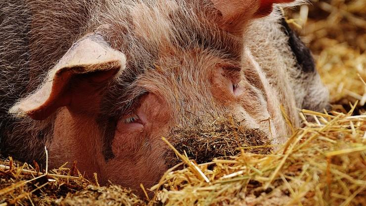 Na Mazowszu wykryto kolejne ognisko afrykańskiego pomoru świń