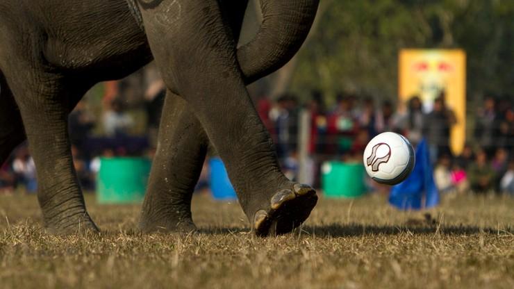 Nepal: trwają rozgrywki słoni w piłce nożnej